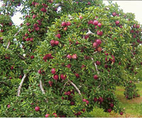 Learn about growing Ohio apples during your Educational School Tour Field Trips to MacQueen Apple Orchard, Cider Mill, Farm Market, and Pick Your Own Apples, Holland, Ohio, west of Toledo
